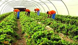 Local farm products meeting most of Qatar's needs