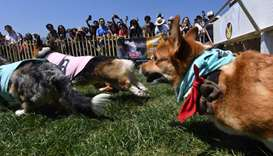 Corgi dogs race