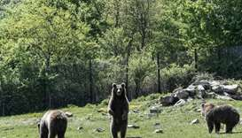 A bear stands at the sanctuary