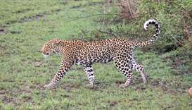 Leopard at Queen Elizabeth National Park