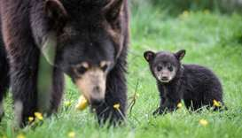 A newly born Baribal American black bear stands
