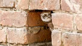 A spotted owlet takes a rest in a putlock hole of a wall in Kathmandu, Nepal