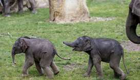 Elephant calves walk in their enclosure