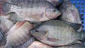 Ministry extends deadline to apply for tilapia production programme