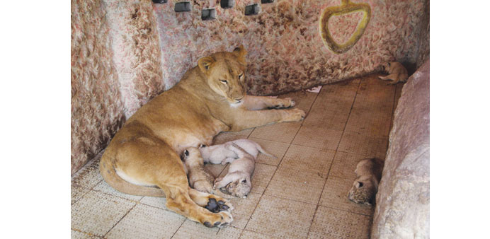 Pet lion gives birth to five cubs