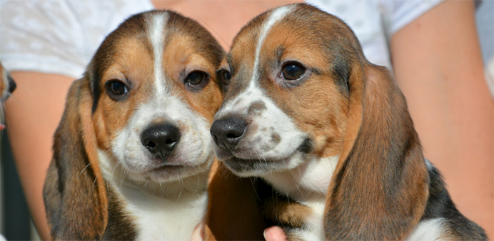 Puppies from the first litter born by in-vitro fertilization