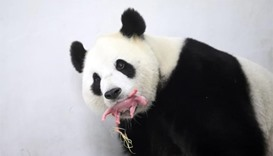 Rare giant panda born in Belgium