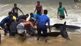 Stranded whales helped back to sea in Sri Lanka