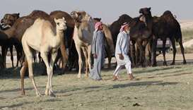 Camels reunited with their owners