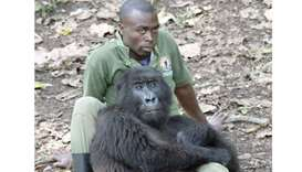A mountain gorilla cuddles up to one of the rangers at the Senkwekwe Centre.