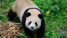Meng Meng, one of two giant pandas destined for Germany