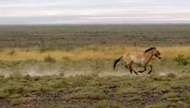 Dzungarian horse trots across the Takhin Tal National Park