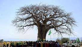 'Shocking' die-off of Africa's oldest baobabs: study