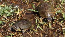 View of two Vallarta mud turtles (Kinosternon Vogti) in a river in Puerto Vallarta