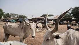 cattle at a livestock yard in Kaduna, northwest Nigeria.