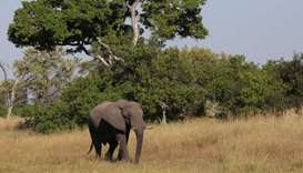 Botswana investigates 154 elephant deaths, rules out poaching