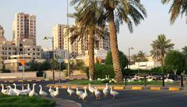 Geese walk along the Arabian Gulf street in Kuwait City yesterday, during a partial curfew to stem t