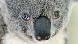 Scientists eye genome mapping to help chlamydia-stricken koalas