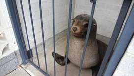 Australian woman finds napping seal in cemetery toilet