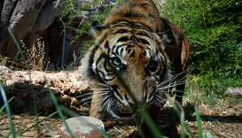 A Sumatran tiger licks a frozen blood lollipop
