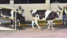 The first batch of  dairy cows, flown in from Germany via Budapest, arrive at the Baladna livestock
