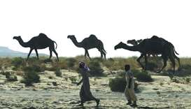 Camels cross Saudi Arabia's remote desert border into Qatar on June 20.