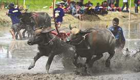 A farmer rides on the back of wooden ploughs tied to a pair of racing buffaloes during the annual ri