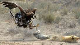 A hunting Golden Eagle attacks a fox