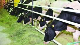 QA Cargo transports 4,000 cows to meet Qatar's dairy needs