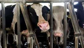 Qatari businesses are rushing to bring in more cows to increase domestic dairy production.