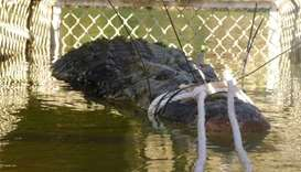 Giant crocodile captured in Australia to stop it going to town