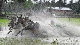 Farmers falls try to control the bulls at the starting line as they participate in a bull race at a
