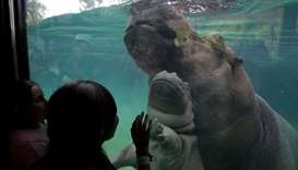 Baby hippo swims alongside its mother Gina at the Guadalajara Zoo, Mexico