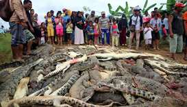 Hundreds of crocodiles from a farm after they were killed by angry locals following the death of a m