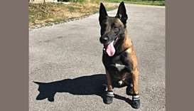 Swiss police dogs wear shoes on hot summer paw-trols