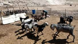A Palestinian man looks after his animals in the Bedouin village of Khan al-Ahmar in the occupied We
