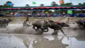 Water buffaloes participate in the race
