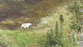 A Royal Canadian Mounted Police handout photo of a polar bear spotted from an RCMP helicopter during