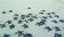 hawksbill turtle hatchlings
