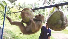 A monkey is being trained at a monkey school for coconut harvest in Surat Thani province.