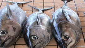 Two-month ban on catching kingfish