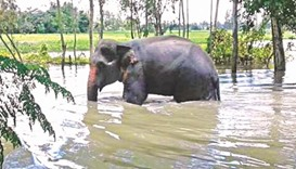 The wild elephant that came from India wades through floodwater in Madarganj Upazila of Jamalpur yes
