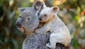 White koala joey on her mother Tia at the Australia Zoo