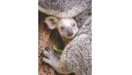 A white koala joey at the Australia Zoo. The female joey's extremely pale colouration is caused by a