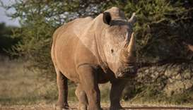 A rhinoceros bull standing in a farm near Vaalwater in the Limpopo Province, South Africa