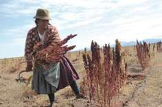 Quinoa boom has disastrous consequences for Bolivian farmers