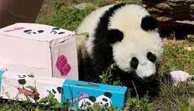 Vienna's panda twins mark birthday with snacks and a lie-in