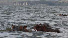 Two hippos in Lake Naivasha.