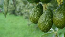 New Zealand avocado shortage leads to desperate measures