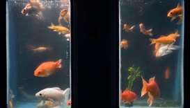 Paris aquarium offers haven for unwanted goldfish
